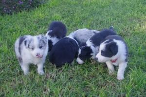 2015 puppies
